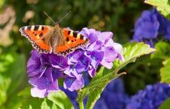 紫色霍滕西亚花和蝴蝶。 免版税库存照片