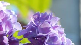 紫色霍滕西亚 库存图片
