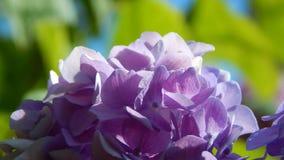 紫色霍滕西亚 免版税库存照片