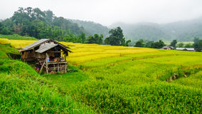 绿色露台的米领域在Chiangmai,泰国 图库摄影