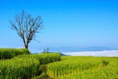 绿色露台的米领域在Chiangmai 图库摄影