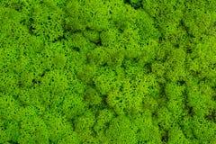 绿色青苔关闭,生苔背景,生苔纹理 免版税图库摄影
