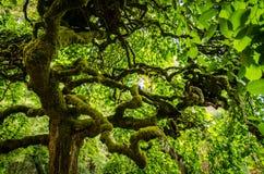 绿色青苔在加利福尼亚盖了树 免版税库存图片