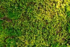 绿色青苔在森林里 库存图片