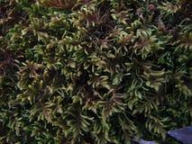 绿色青苔植被特写镜头 免版税库存照片
