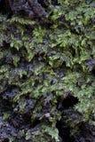 绿色青苔细节 免版税库存照片