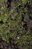 绿色青苔细节 免版税库存图片