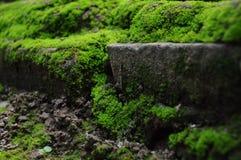 绿色青苔 免版税库存照片