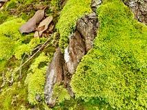 绿色青苔 免版税图库摄影