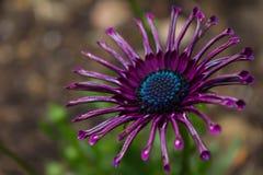 紫色非洲雏菊特写镜头 库存照片