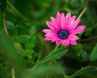 紫色非洲雏菊, Osteospermum Ecklonis 免版税图库摄影