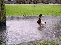 绿色顶头鸭子 免版税库存图片
