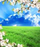 绿色领域、樱桃蓝天和花  库存图片