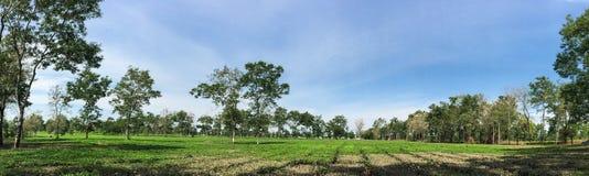 绿色领域全景视图在Daklak,越南 免版税库存图片