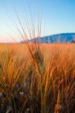 黄色领域用成熟硬质小麦, grano杜罗,西西里岛,意大利 免版税库存图片