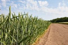 绿色领域用年轻麦子 免版税库存图片