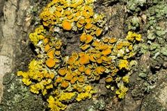 黄色颜色的小蘑菇孢子在树的吠声的 宏指令 免版税库存照片