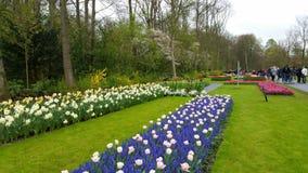 紫色风信花、水仙和桃红色郁金香Keukenhof荷兰 免版税库存照片
