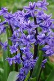 紫色风信花(hyacinthus)是一个第一美丽的spri 库存图片
