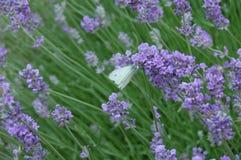 紫色风和白色航班3 图库摄影