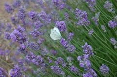 紫色风和白色飞行 库存图片