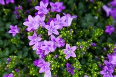 紫色风轮草色的花开花  免版税图库摄影