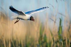 黑色飞行鸥朝向 图库摄影