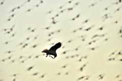 黑色飞行鸥朝向 库存照片