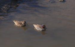 绿色飞过的小野鸭鸭子 图库摄影