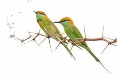 绿色食蜂鸟刺树白色背景 免版税图库摄影