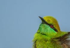 绿色食蜂鸟鸟特写镜头 免版税图库摄影