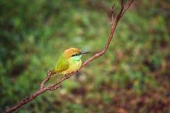 绿色食蜂鸟,斯里兰卡 免版税库存照片