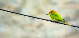 绿色食蜂鸟 图库摄影
