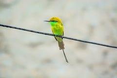 绿色食蜂鸟 库存照片