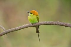绿色食蜂鸟 免版税图库摄影