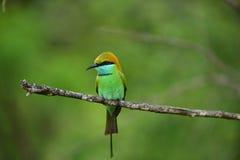 绿色食蜂鸟 免版税库存照片