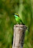 绿色食蜂鸟& x28; 食蜂鸟属Orientalis 免版税库存照片