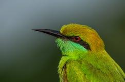 绿色食蜂鸟Closup 免版税库存图片