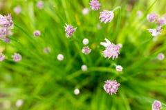 绿色香葱生长紫色头状花序 免版税库存照片