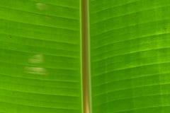 绿色香蕉叶子前面纹理细节 免版税库存照片