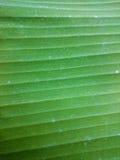 绿色香蕉叶子自然本底 水平线绿叶t 免版税库存图片