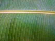 绿色香蕉叶子自然本底 新鲜的夏天或春天轻拍 免版税图库摄影