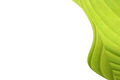 绿色香蕉叶子 库存图片