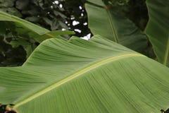 绿色香蕉离开本质上沿篱芭的,在香蕉le的焦点 库存图片