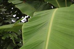 绿色香蕉离开本质上沿篱芭的,在香蕉le的焦点 免版税库存照片
