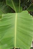 绿色香蕉离开本质上沿篱芭的,在香蕉le的焦点 库存照片
