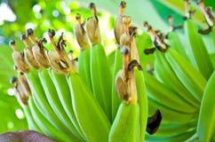 绿色香蕉 免版税库存图片