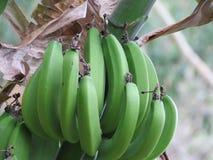 绿色香蕉 免版税库存照片