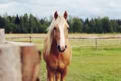 黄色马在牧场地 免版税库存照片