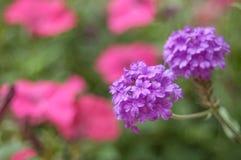 紫色马樱丹属和桃红色喇叭花在一个公园里 免版税库存图片
